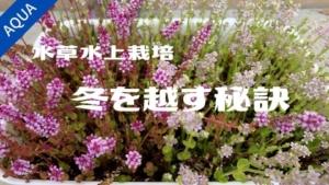 【アクアリウム】水草の屋外水上栽培で冬を越すための秘訣